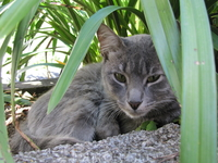 Семейство кошачьих также во всем многообразии представлено на Мадейре