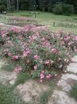 вся палитра  цвета в розах долины роз