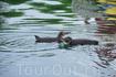 Галапагосские пингвины отлично себя чувствуют в теплых водах Тихого океана