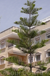 Араукария, древнейшее в мире растение.