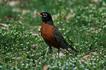 Птица робин. Fairmount Park