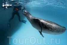 """Пол Никлен (Paul Nicklen) и его партнерша в кадре во время съёмок это огромное животное """"познакомилось"""" с Полом, пощупав его своими клыками за голову ..."""