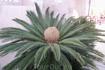 Кома Руга. Рядом с темальным источником. Как Вы думаете,- что это? А это пальмовая почка, из которой вырастает очередной ярус листьев пальмы!