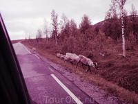 меланхоличные северные олени создают напряженность в поездке по северу Норвегии