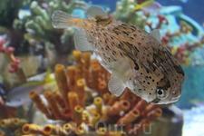 Тетрадон,очень ядовитая рыба