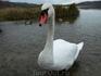 Изборские лебеди