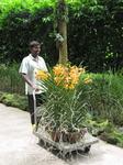 орхидэи везут высаживать в землю