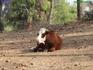 А вот что едят коровы в совершенно голом сосновом лесу не понятно.... Странное место для выпаса.