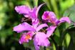 Катлея. Парк Орхидей