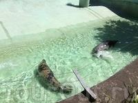 А это чудесные тюлени) Нет, их не мучают, и обычно уровень воды в бассейне нормальный для них. Просто сейчас меняли воду: старую спустили, а новая только ...