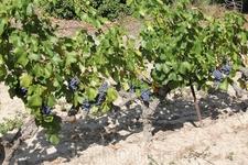 Виноградник частной винодельни Domaine Bouletin & Fils