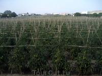 Вот так в Испании растут помидоры