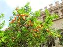 Кроме города контрастов я еще бы назвала Валенсию апельсиново-мандариновым раем, поскольку ни в одном городе раньше я не видела такого количества цитрусовых, гроздьями свисающих с деревьев.  Именно ряды цитрусовых деревьев было первое, что мы увидели приехал в Валенсию на вокзал, который носит имя знаменитого испанского художника Joaquin Sorolla. На вокзале имеется туристический центр, где нас снабдили картами города, проспектами, рассказали что можно увидеть за один день, и мы отправились к историческому центру города.