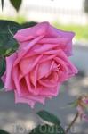 Розы Пестума.