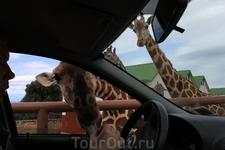 обожаю этих жирафов