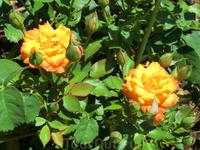 Розы в  Quinta de los Molinos.
