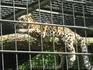 Леопард... Большие кошки сидят в специальных клетках, увы... но эти хищники опасны