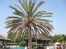 пальма у бассейна