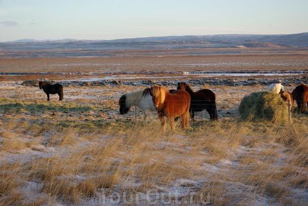 исландская фауна