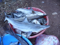 акулы...на рынке в морджиме