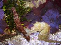 Aquarium of the Pacific! Морской (океанический) конь (лошадь). Кому как нравится. В английском варианте - Seahorse.