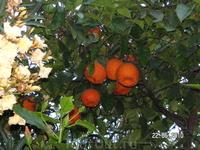...Апельсины( во дворе другого отеля)