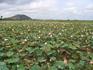 По дороге на озеро выращивают лотосы. 2.