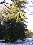 Вот такие елки на улицах Кисловодска