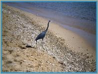 Цапля на берегу