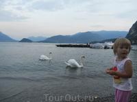 лебеди частые гости, выпрашивают хлеб