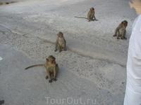 Возле храма живут обезьянки-попрошайки