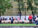 Овечий парад прошествовал мимо основных достопримечательностей Мадрида, в том числе по площади Пуэрта-дель-Соль и мимо штаб-квартиры Банка Испании. Пастухи сделали остановку у старой ратуши, Casa de la Villa, чтобы предводитель шествия мог выплатить властям Мадрида за прогон овец 25 мараведи— старинных монет, хождение которых имело место в Испании до XV века.