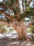 Многовековое дерево у монастыря в честь Святой Девы Марии.