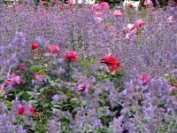 Мята и розы.... а сколько  там пчелок и шмелей было!!!!