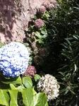 Гортензия, цветок Азорр