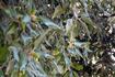 Парк у виллы Боргезе. Ботаники! Если у дерева желуди, а листья не дуба - это что???