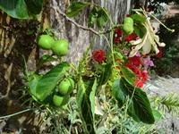 Грецкие орехи-еще зеленые.