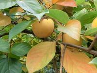 Во фруктовом саду созрела хурма.