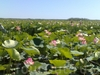 Экскурсия в самые большие в мире цветущие поля лотоса