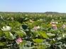 Цветение лотоса в дельте Волги