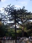 Араукария чилийская...(если правильно запомнила слова экскурсовода) невероятный долгожитель!первые плоды(шишки) дает в возрасте 200 лет