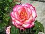 Выложила фото самых необычных роз
