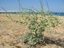 В Скале на пляже растет это чудо-растение. Неделю ходил мимо и все-таки сфотографировал.