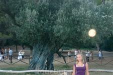 Хорватия/ о. Бриони, древняя олива