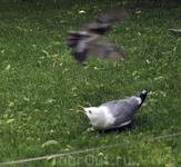 Стычка чайки и дрозда!!!