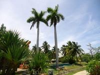 королевские пальмы на термальных источниках
