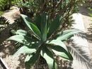Чудесная розочка-агава.