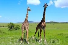 И что самое важное  животных в парке Масаи Мараможно увидеть достаточно близко. Парк Масаи Мара знаменит еще своими львами, которые обитают здесь в больших ...