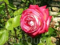 Ещё одна роза