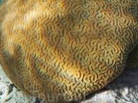 Мир коралла...мозговик.